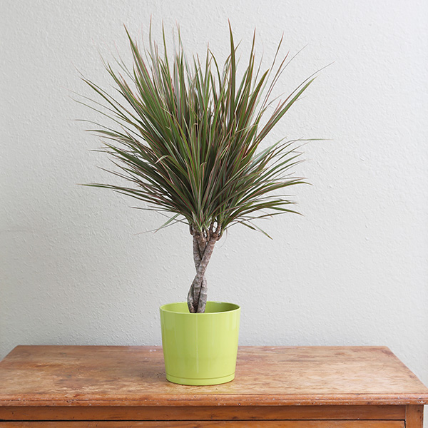 Dracaena-marginata-Bicolor--Costa-Farms-Houseplant