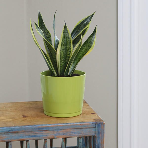 Sansevieria-Futura-Superba-Costa-Farms-Houseplant
