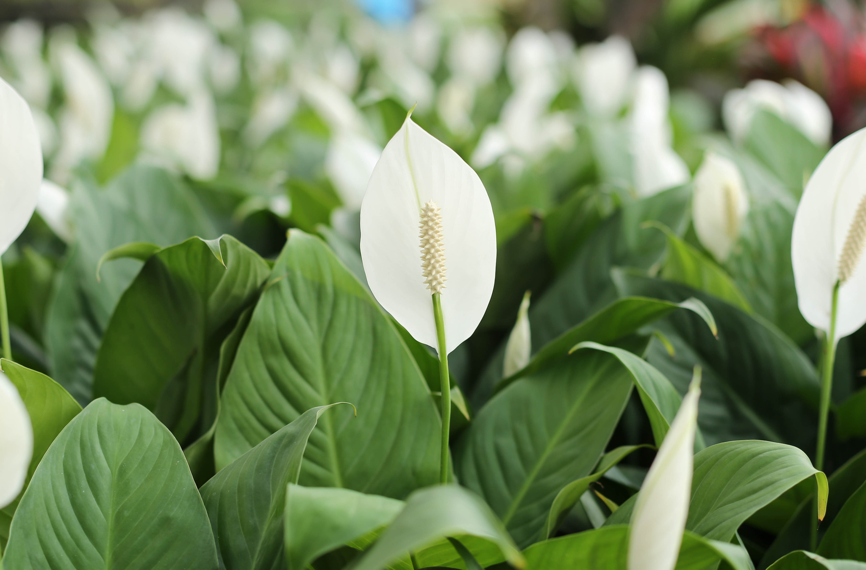 White anthurium andreanum flowers